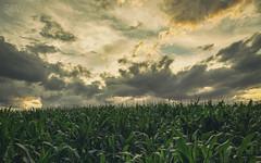 bmf (SBW-Fotografie) Tags: sbw sbwfoto sbwfotografie canon canon80d 80d weitwinkel wolken clouds maisfeld cornfield grün green sundown sonnenuntergamg
