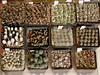 Batch of seedlings 2 (explore) (Resenter89) Tags: ariocarpus confusus scaphirostris lophophora albertovojtechii turbinicarpus rioverdensis pseudopectinatus varrubriflorus flaviflorus graminispinus vm817 polaskii x roseiflorus astrophytum asterias hybrid superkabuto agavoides mz340 mz736 pp208 10