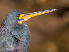 Tricolored Heron 006 (RRcoleJR Photography) Tags: 1 animalia ardeidae aves betterbeamer bokeh chordata close closeup dof egretta egrettatricolor flashextender godox godoxv860iio horsepenbayou houston hunting louisianaheron pelecaniformes texas tricoloredheron usa v860iio water alone ascend ascendh12 ascendoutdoors avian bay bayou bird feather feathers flash fx3 head headonly headshot hunter marsh marshland marshy narrowdof ocean predator profile river side sideview sideways single swamp swampland swampy