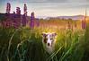 Iris in the Lupines (adventuredogphoto) Tags: dog landscape dogphotographer dogphotography beyondthefence adventuredogphotography adventuredog australianshepherd aussie redmerle lupines lupine lupineflowers festivaloflupines field grass meadow sunrise mountains sugarhill