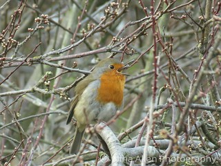 Beautiful singing robin, suffolk