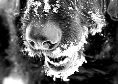 Snow Nose (SkyeHar) Tags: macromondays monochrome dog snow snout nose bw macro sonya6300 sel30m35 bokeh light shadow contrast dof winter hiver invierno nieve perro hund chien schnee neige dogs weather