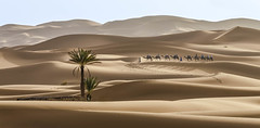 Sahara desert (GC - Photography) Tags: sand landscape dunas dunes camello camel nikon d5100 desiertodelsahara saharadesert sahara desert desierto merzouga marruecos morocco maroc ergchebbi gcphotography palmera palm