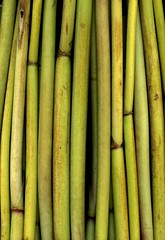 58762.01 Levisticum officinale (horticultural art) Tags: horticulturalart levisticumofficinale lovage stems stalks