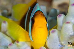 RED SEA CLOWNFISH (30mm) (Sonja Ooms) Tags: amphiprion amphiprionbicinctus animal aqaba clownfish egypt fish gulfofaqaba macro nature nuweiba orange redseaclownfish sea stripes underwater red