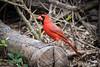 Happy Valentine's Day! (jciv) Tags: file:name=dsc03373 bird cardinal