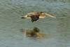 How low can he go (ChicagoBob46) Tags: brownpelican pelican bird florida jndingdarlingnwr sanibel sanibelisland nature wildlife ngc coth5 npc