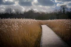 Through The Reeds (JDWCurtis) Tags: cosmeton path board boardwalk sky trees wales southwales caerdydd cardiff rushes reed reeds chaff southglamorganshire cosmetonlakes
