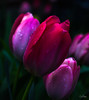 Flowers-Tulips-41.jpg (Chris Finch Photography) Tags: tulipasaxatilis spring tulip pinktulip flower tepals tulipalinifolia springblooming chrisfinchphotography perennial redtulip petal herbaceousbulbiferous petals tulipa pinktulips flowers tulipaturkestanica perennials herbaceous bloom bulb tulipagesneriana bulbs tulipaarmena lilioideae chrisfinch herbaceousbulbiferousgeophytes macrophotography tulipaclusiana blooming tulipahumilis redtulips wwwchrisfinchphotographycom tulips