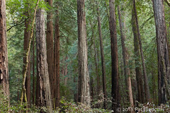 Redwood Forest-Muir Woods-lo-res-7564 (Pat Bianculli) Tags: muirwoods nature california trees forest redwoods nikon d700 patbianculli ©2018patbianculli pbin2351