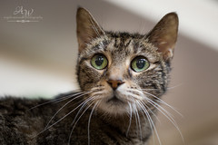 Watchful (Angela Weirauch Photography) Tags: pearland texas cat canon canon6d 6d 50mm prime tabby whiskers