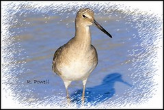 Willet at the beach (robert (Bobby)powell) Tags: southwestflorida leecountyfl birds florida robertbobbypowell nature gulfofmexico fortmyersbeachfl shorebirds imagesoffortmyersfl imagesofbing imagesofaol rpowell canon willet naturephotographer usa yahoo aolimageofflorida yahooimagesofflorida artistic imagesofbirds 77d water bird eos77d