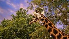 Girafe (ΨᗩSᗰIᘉᗴ HᗴᘉS +21 000 000 thx) Tags: animal girafe zoo zoodanvers hensyasmine namur belgium wallonie europa aaa بلجيكا belgique namuroise proxi belga info look photo friends bélgica ベルギー белгия բելգիա belgio 벨기에 belgia бельгия 比利时 bel be ngc saariysqualitypictures yasminehensinterst intersting interestingness eu fr greatphotographers lanamuroise