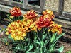 Color Blast (clarkcg photography) Tags: flowers colors saturated bright garden spring growth saturatedsaturday