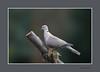 TURKSE TORTEL (FotoRoelie.nl) Tags: vogels turkse tortel duiven