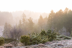 No. 1091 Morning mist (H-L-Andersen) Tags: mist misty forest wood trees nature landoflight landscape frost cold morning pine canoneos6d canon manfrotto sindal hjørring denmark explore explored