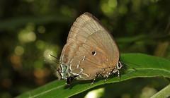 Theritas phegeus Female (Camerar 4 million views!) Tags: butterfly lycaenidae peru theritas theritasphegeus butterflies insect