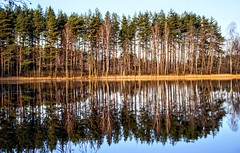 reflection (daimak) Tags: pine trees reflection lake water calm winter lithuania sonyilce7 manualfocus sigma28300mmasphericalif