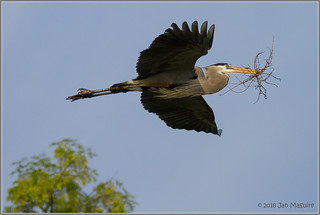 Heron with Nest Material 7602