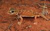 Pernatty Knob-tailed Gecko (Nephrurus deleani) (Jordan Mulder) Tags: pernatty knob tailed gecko wildlife australia reptile dunes arid nephrurus deleani