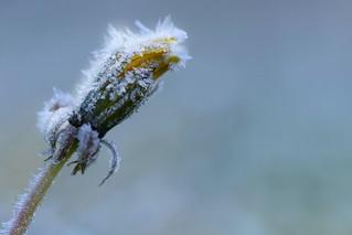 Winter flower / Pissenlit gelé