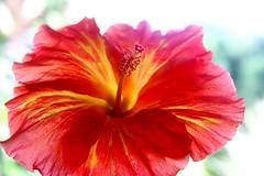 Fleur d'Hibiscus de Tahiti (Christian Chene Tahiti) Tags: canon 7d moorea hibiscus aute hybride color couleur fleur fleurdepolynésie fleurdesîles fleurdetahiti flore floredepolynésie floredetahiti flores flower macro polynésie pollen rose rouge blossom polynésiefrançaise nature pink orange red plante