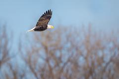 Morning Flight (jeff_a_goldberg) Tags: americanbaldeagle baldeagle wildlife winter nature bif redwing haliaeetusleucocephalus bird birdinflight eagle minnesota unitedstates us