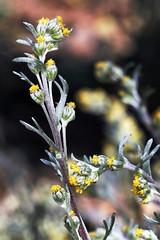 Artemisia umbelliformis (chug14) Tags: unlimitedphotos plantae fleur plante flower asteraceae composées génépijaune génépiblanc artemisiaumbelliformis