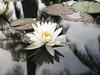 บัวลูกผสมข้ามสกุลย่อย 'ยาคูล' Nymphaea 'Yakult' HxT (Intersubgeneric) Waterlily TH5 (Klong15 Waterlily) Tags: yakultwaterlily waterlily waterlilies landscape landscapes pond pondplant hxtwaterlily lotus lotusflower flowerlover บัวลูกผสมข้ามสกุลย่อย บัว ดอกบัว