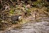 Baywatch (RGaenssler) Tags: sperlingsvögel badenwürttemberg deutschland europa singvögel schwäbischealb vögel floraundfauna badurach wirbeltiere cinclus tiere wasseramseln