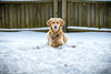 Yogi '18 (R24KBerg Photos) Tags: yogi dog goldenretriever cute sweet pet animal canon snow 2017 wintervillenc friend winter cold snowfall beautiful nature pretty canine icy funny