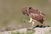 Stomping Grounds (Megan Lorenz) Tags: burrowingowl owl owlet bird avian birdofprey nature wildlife wild wildanimals travel florida mlorenz meganlorenz