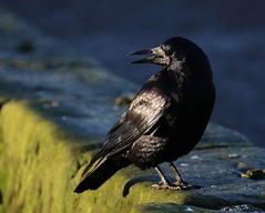 Contrasts (themadbirdlady) Tags: passeriformes corvidae corvusfrugilegus rook linlithgowlochwestns9976