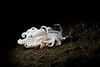 Phyllodesmium iriomotense (prilfish) Tags: bali indonesia indonesien underwater tulamben unterwasser dive diving scuba tauchen karangasem