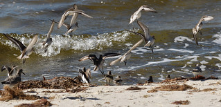 Mixed flock of Sandpipers