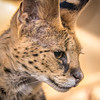 Serval Close-Up (helenehoffman) Tags: africa felidae carnivore serval sandiegozoo feline mammal conservationstatusleastconcerned giraffecat wildcat animal cat
