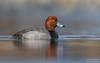 Redhead (Male) (salmoteb@rogers.com) Tags: bird wild outdoor duck nature wildlife water lake ontario canada