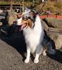 "85-Yakuriji-017 (photozaki) Tags: ""dogs cats"" dog dogs inu cat cats neko shikoku japan ohenro88 ohenro pilgrimage"
