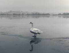 My new friend (chrismarr82) Tags: swan scotland nikon loch castle semple lochwinnoch winter fog
