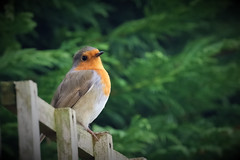 Who you looking at? (stellagrimsdale) Tags: robin robinredbreast fence bird birdphotography window throughthewindow tree bokeh