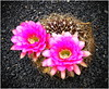 Great blossoms on a tiny cactus ! (kurtwolf303) Tags: jardíndecactus lanzarote cactus kaktus kaktusblüte blossoms islascanarias kanaren natur nature plant pflanze canaryisland pink rosa kaktusgarten kanarischeinseln flora lavagestein unlimitedphotos