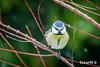 Mésange bleue (Cyanistes caeruleus) (Dicksy93) Tags: img2521 mésange bleue cyanistescaeruleus eurasian blue tit statut lc quasi menacé nature faune animal oiseau chanteur bird ave vogel uccello pájaro volatile passereau wildlife tiere branche extérieur outdoor planguenoual côtesdarmor 22 bretagne brittany breizh bzh france europe dicksy93 canon eos 7d ef 100400mm f4556l is usm