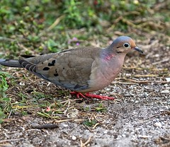 Mourning Dove Returning From Furneral (Darts5) Tags: mourning mourningdove dove doves bird birds 7d2 7dmarkll 7dmarkii 7d2canon ef100400mmlll closeup canon7d2 canon7dmarkll canon7dmarkii canon canonef100400mmlii