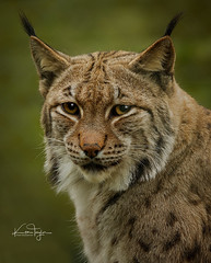 Willow (yadrad) Tags: lynx carpathianlynx zoo dartmoorzoo dartmoorzoologicalpark sparkwell cat cats bigcats captive ngc