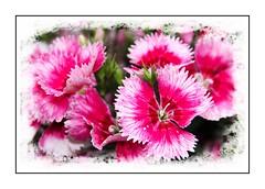 Dianthus (Audrey A Jackson) Tags: canon60d dianthus nature petals pink white colour closeup garden 1001nights