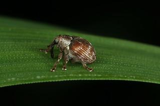Coeliodes trifasciatus ou transversealbofasciatus ou rana.