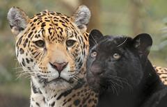 jaguar artis BB2A3294 (j.a.kok) Tags: jaguar kat cat mammal artis animal zoogdier zuidamerika southamerica pantheraonca rica predator