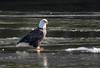Eagle on ice (timeless_toys) Tags: bald river connecticut bird eagle