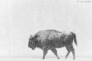 European Bison (2)