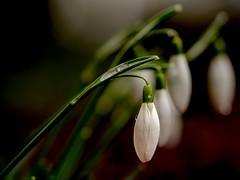 Snowdrop, Schneeglöckchen (Benny aka WortLichtMaler) Tags: snowdrop schneeglöckchen winter blume flower bloom blüte blühen schön fein zart klar stark strong clear decent white green red beautyful beautiful beauty schönheit